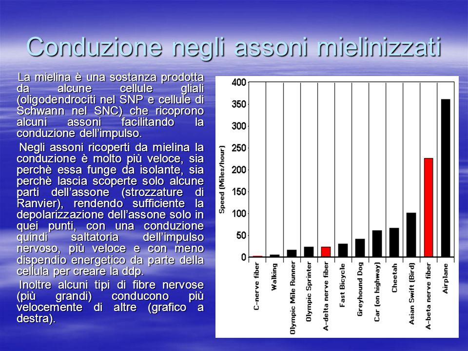Conduzione negli assoni mielinizzati La mielina è una sostanza prodotta da alcune cellule gliali (oligodendrociti nel SNP e cellule di Schwann nel SNC