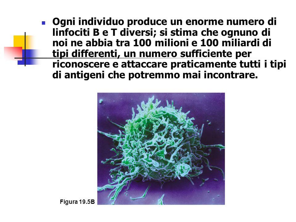 Figura 19.5B Ogni individuo produce un enorme numero di linfociti B e T diversi; si stima che ognuno di noi ne abbia tra 100 milioni e 100 miliardi di