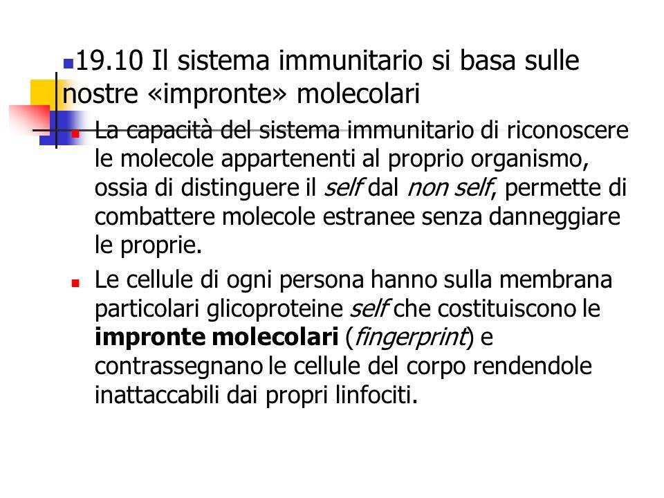 19.10 Il sistema immunitario si basa sulle nostre «impronte» molecolari La capacità del sistema immunitario di riconoscere le molecole appartenenti al