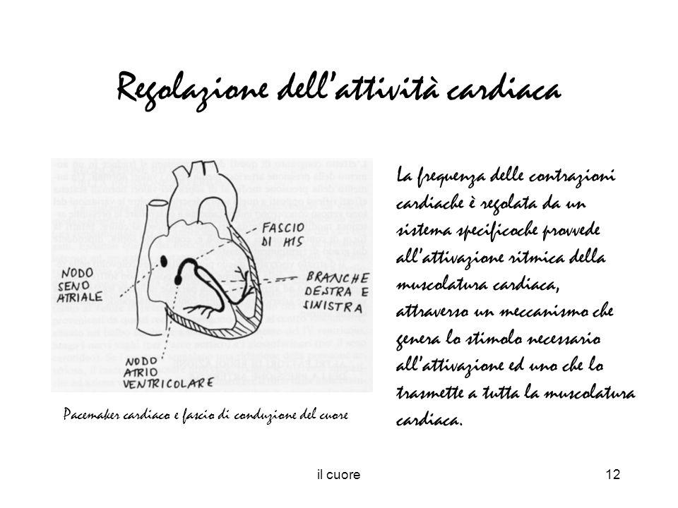 il cuore12 Regolazione dellattività cardiaca Pacemaker cardiaco e fascio di conduzione del cuore La frequenza delle contrazioni cardiache è regolata d