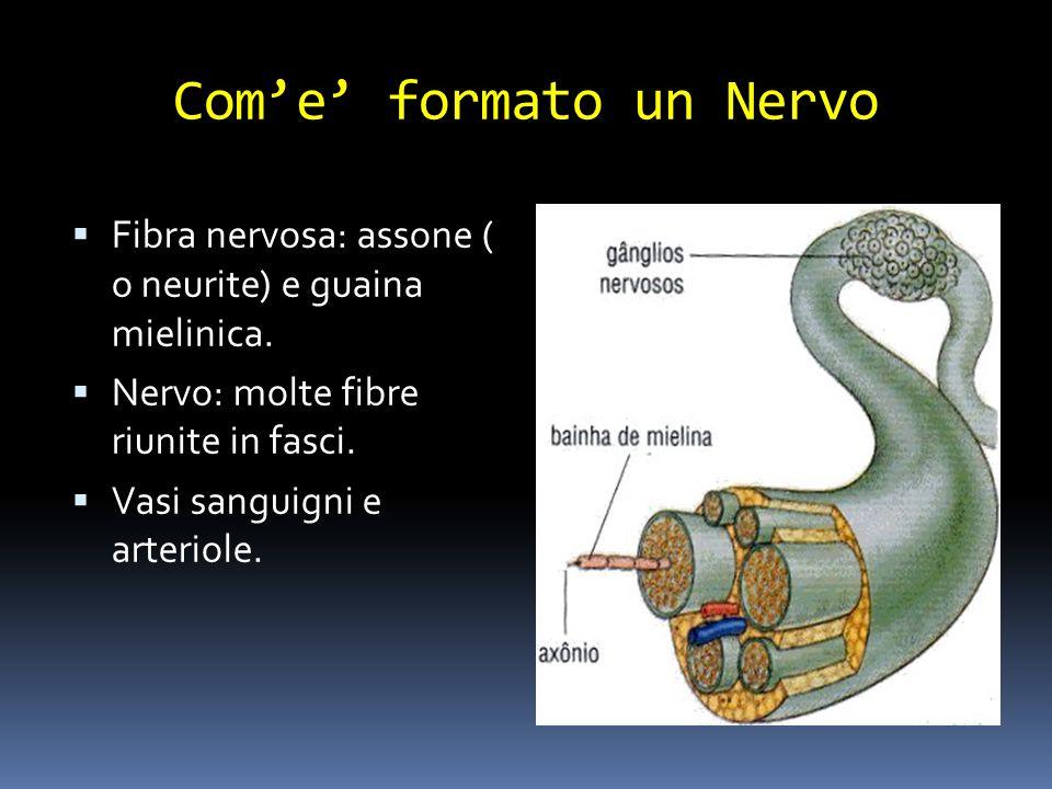 Come formato un Nervo Fibra nervosa: assone ( o neurite) e guaina mielinica. Nervo: molte fibre riunite in fasci. Vasi sanguigni e arteriole.