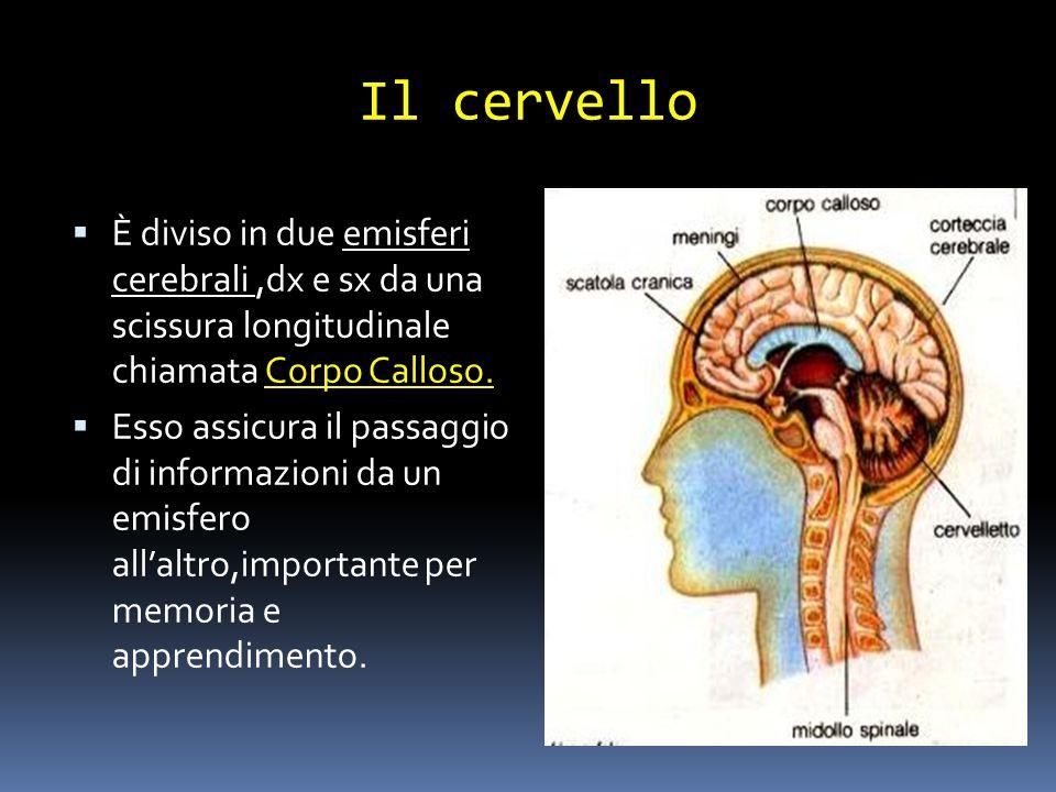 Il cervello È diviso in due emisferi cerebrali,dx e sx da una scissura longitudinale chiamata Corpo Calloso. Esso assicura il passaggio di informazion