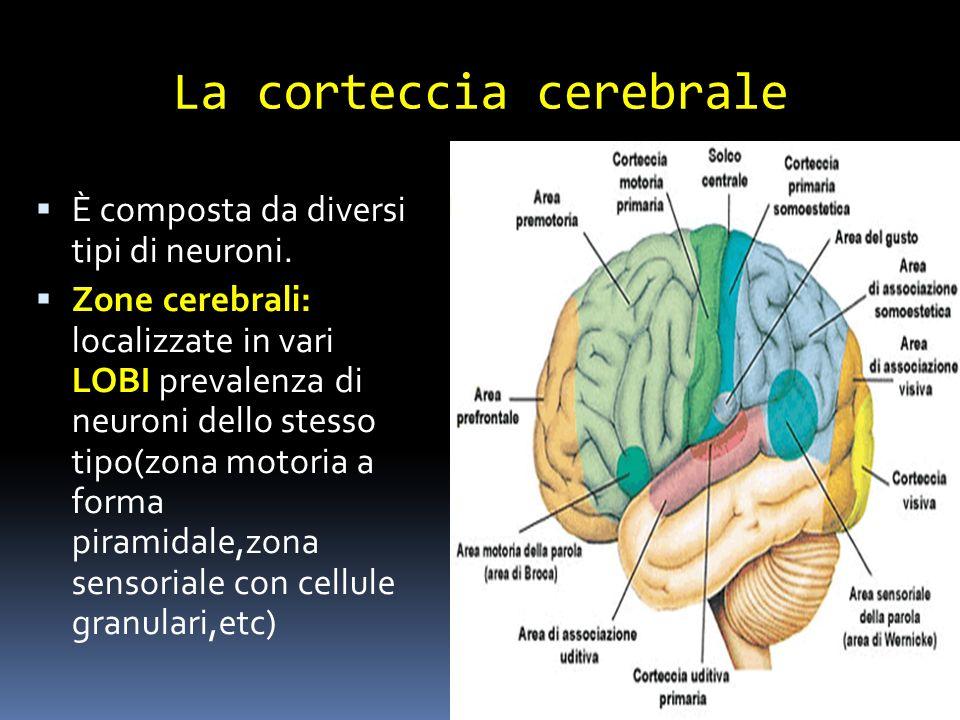 La corteccia cerebrale È composta da diversi tipi di neuroni. Zone cerebrali: localizzate in vari LOBI prevalenza di neuroni dello stesso tipo(zona mo