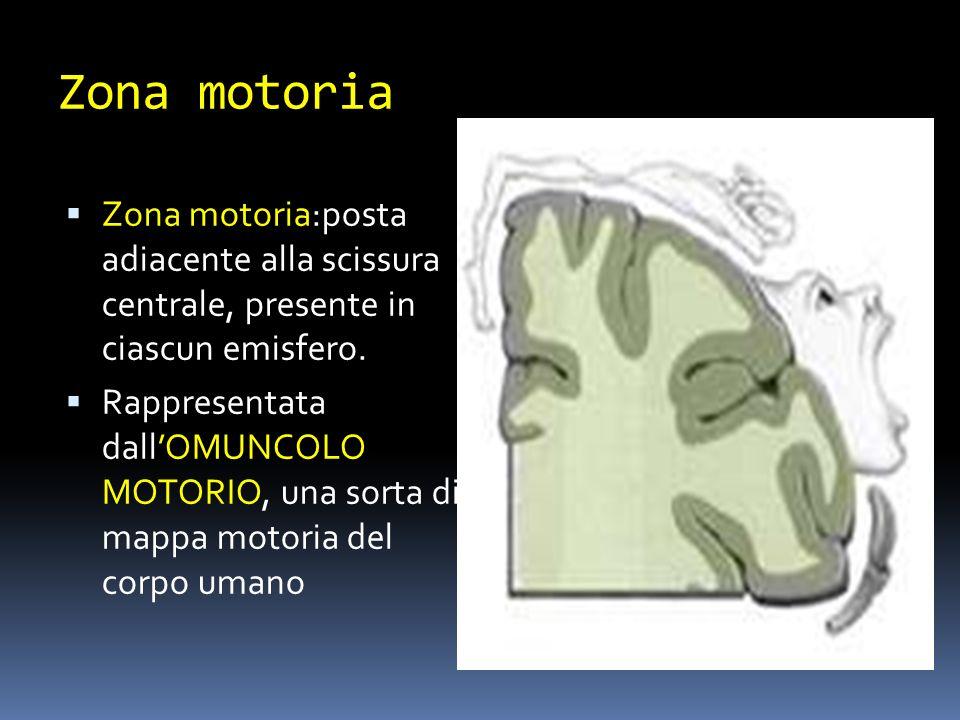 Zona motoria Zona motoria:posta adiacente alla scissura centrale, presente in ciascun emisfero. Rappresentata dallOMUNCOLO MOTORIO, una sorta di mappa