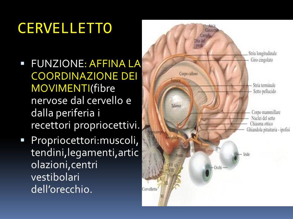 CERVELLETTO FUNZIONE: AFFINA LA COORDINAZIONE DEI MOVIMENTI(fibre nervose dal cervello e dalla periferia i recettori propriocettivi. Propriocettori:mu