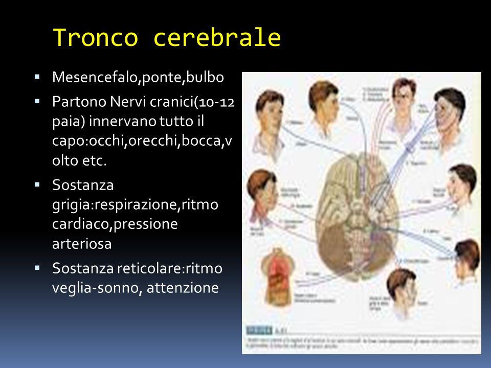 Tronco cerebrale Mesencefalo,ponte,bulbo Partono Nervi cranici(10-12 paia) innervano tutto il capo:occhi,orecchi,bocca,v olto etc. Sostanza grigia:res