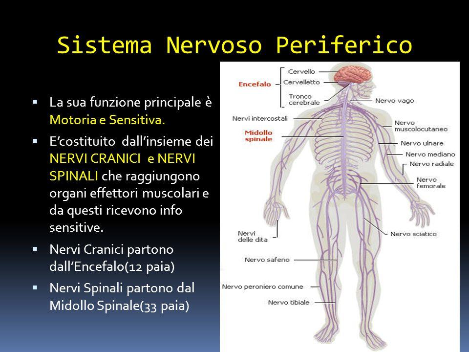 Sistema Nervoso Periferico La sua funzione principale è Motoria e Sensitiva. Ecostituito dallinsieme dei NERVI CRANICI e NERVI SPINALI che raggiungono