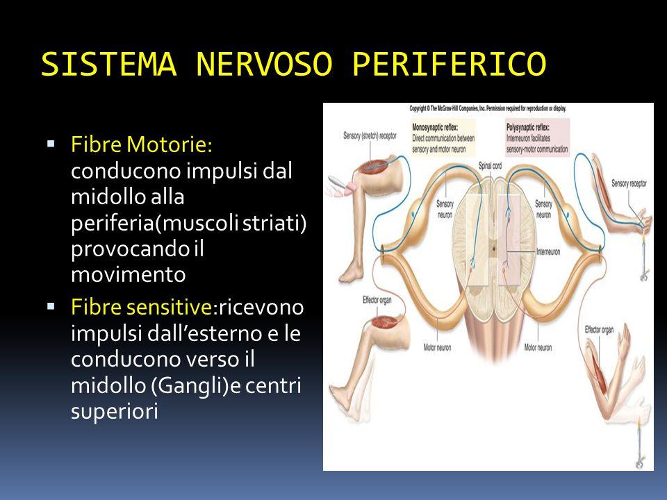 SISTEMA NERVOSO PERIFERICO Fibre Motorie: conducono impulsi dal midollo alla periferia(muscoli striati) provocando il movimento Fibre sensitive:ricevo