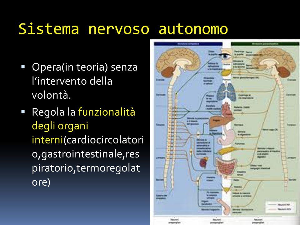 Sistema nervoso autonomo Opera(in teoria) senza lintervento della volontà. Regola la funzionalità degli organi interni(cardiocircolatori o,gastrointes