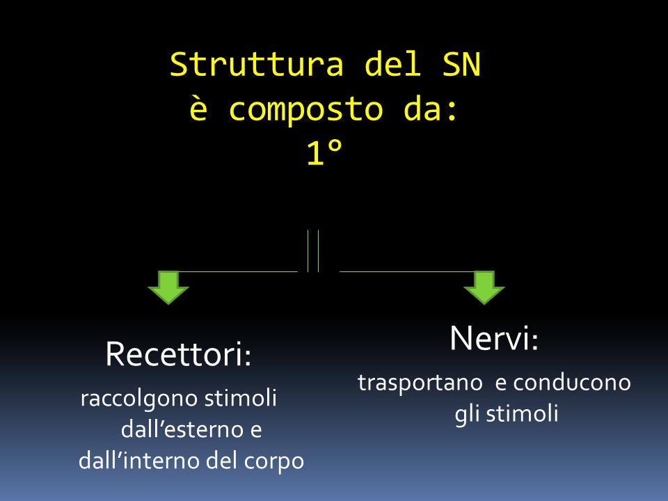 Struttura del SN è composto da: 1° Recettori: raccolgono stimoli dallesterno e dallinterno del corpo Nervi: trasportano e conducono gli stimoli