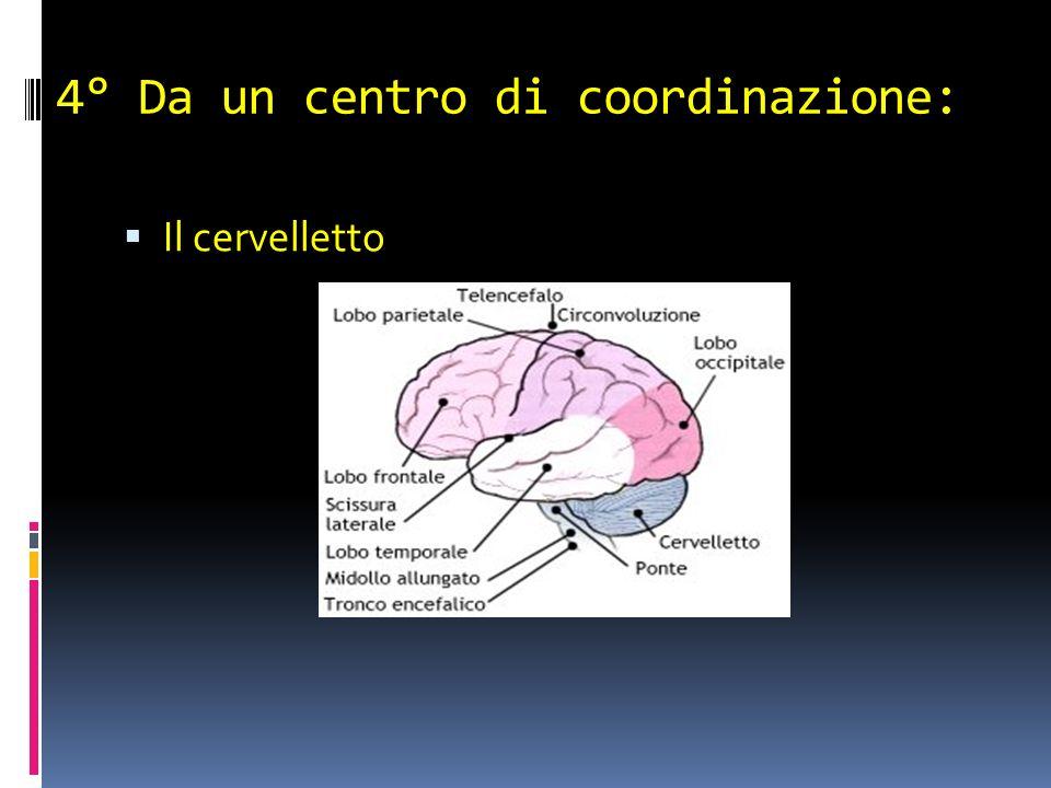 4° Da un centro di coordinazione: Il cervelletto