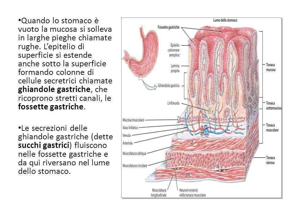 Quando lo stomaco è vuoto la mucosa si solleva in larghe pieghe chiamate rughe. Lepitelio di superficie si estende anche sotto la superficie formando