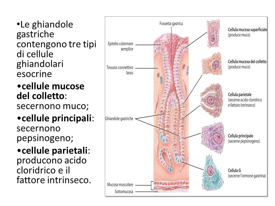Le ghiandole gastriche contengono tre tipi di cellule ghiandolari esocrine cellule mucose del colletto: secernono muco; cellule principali: secernono pepsinogeno; cellule parietali: producono acido cloridrico e il fattore intrinseco.