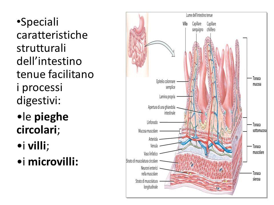 Speciali caratteristiche strutturali dellintestino tenue facilitano i processi digestivi: le pieghe circolari; i villi; i microvilli: