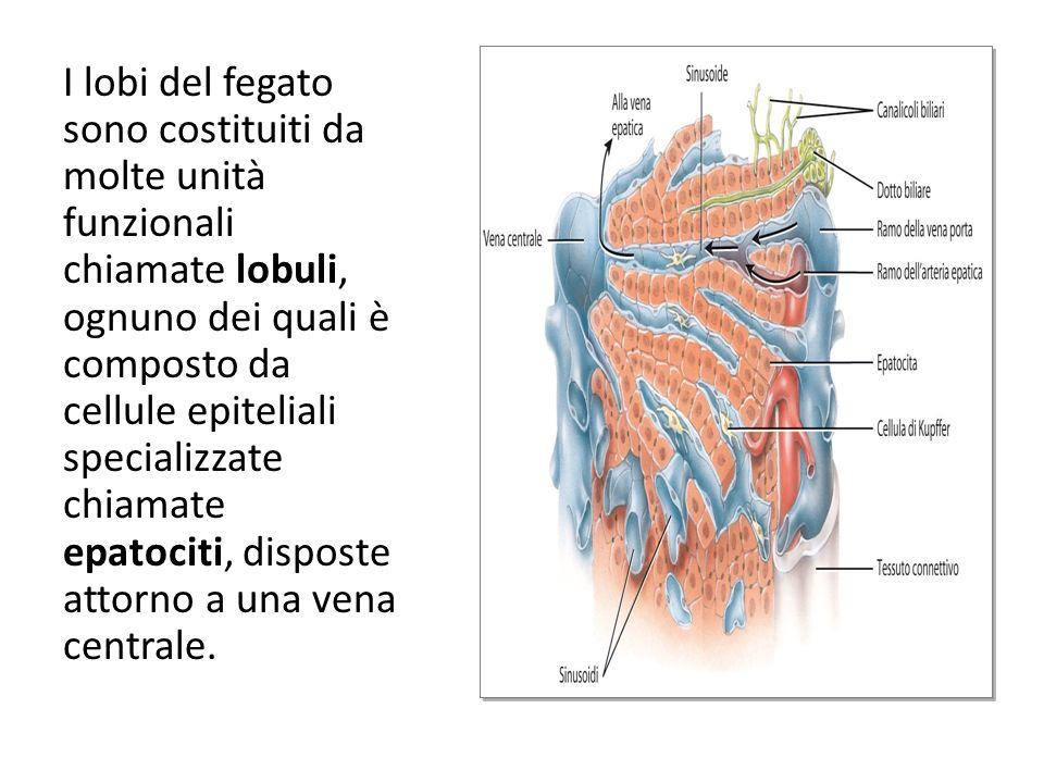 I lobi del fegato sono costituiti da molte unità funzionali chiamate lobuli, ognuno dei quali è composto da cellule epiteliali specializzate chiamate
