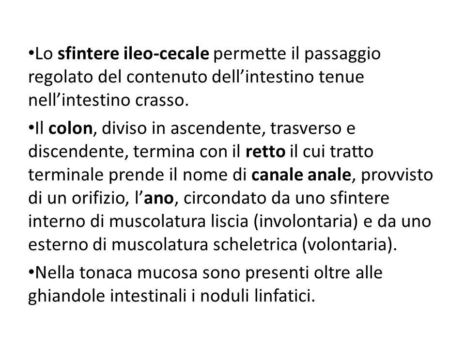 Lo sfintere ileo-cecale permette il passaggio regolato del contenuto dellintestino tenue nellintestino crasso. Il colon, diviso in ascendente, trasver