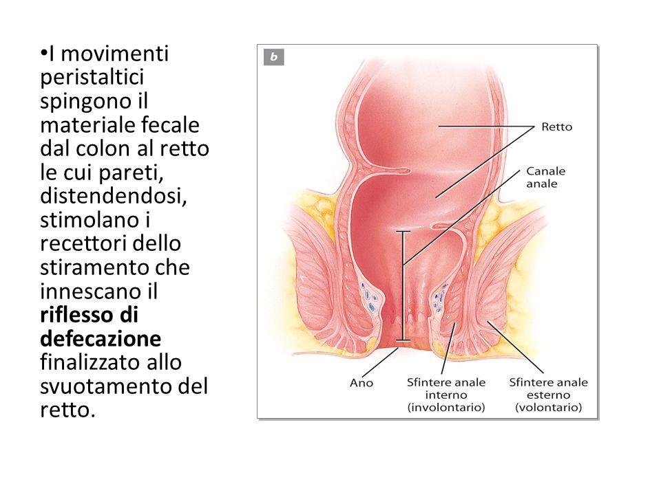 I movimenti peristaltici spingono il materiale fecale dal colon al retto le cui pareti, distendendosi, stimolano i recettori dello stiramento che inne