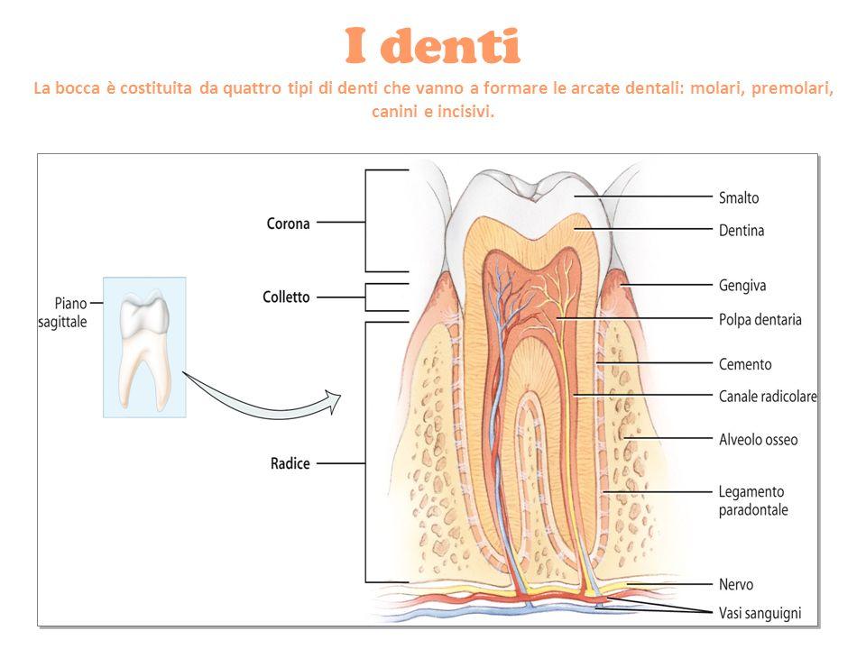 I denti La bocca è costituita da quattro tipi di denti che vanno a formare le arcate dentali: molari, premolari, canini e incisivi.