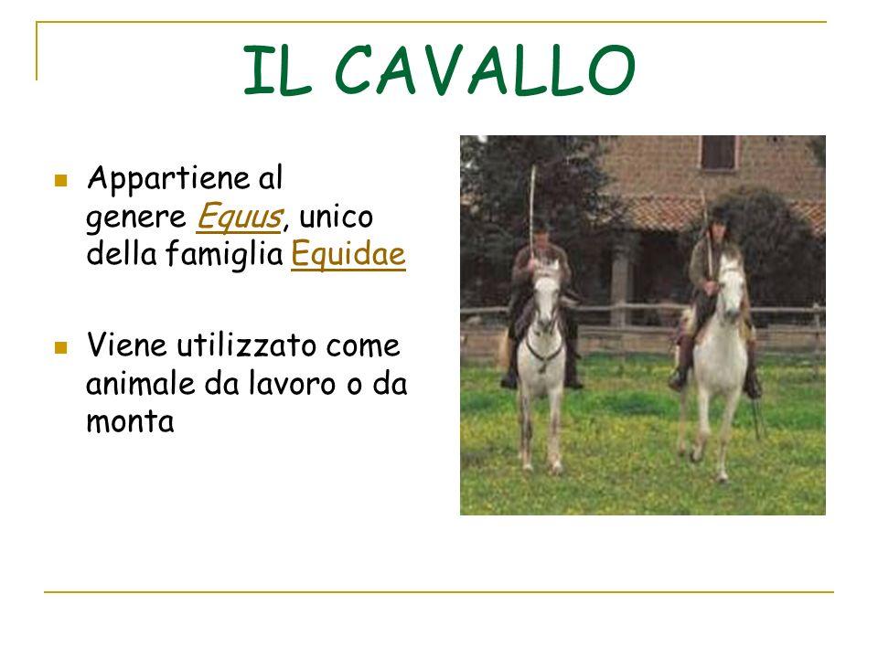 Appartiene al genere Equus, unico della famiglia EquidaeEquusEquidae Viene utilizzato come animale da lavoro o da monta