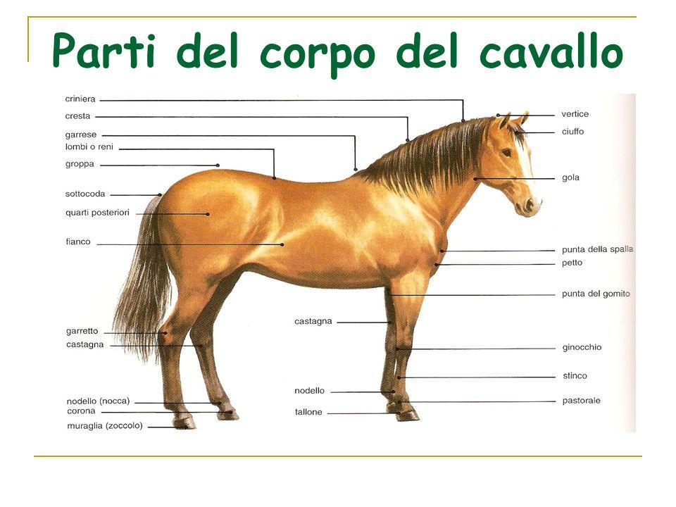 Parti del corpo del cavallo