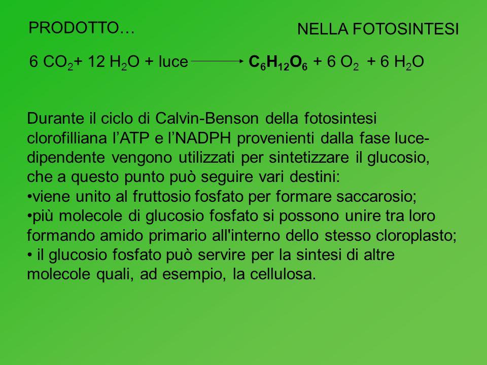 PRODOTTO… NELLA FOTOSINTESI 6 CO 2 + 12 H 2 O + luceC 6 H 12 O 6 + 6 O 2 + 6 H 2 O Durante il ciclo di Calvin-Benson della fotosintesi clorofilliana l