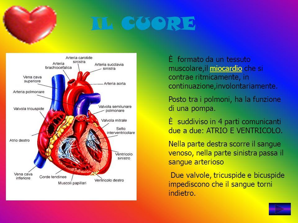 IL CUORE È formato da un tessuto muscolare,il miocardio che si contrae ritmicamente, in continuazione,involontariamente. Posto tra i polmoni, ha la fu