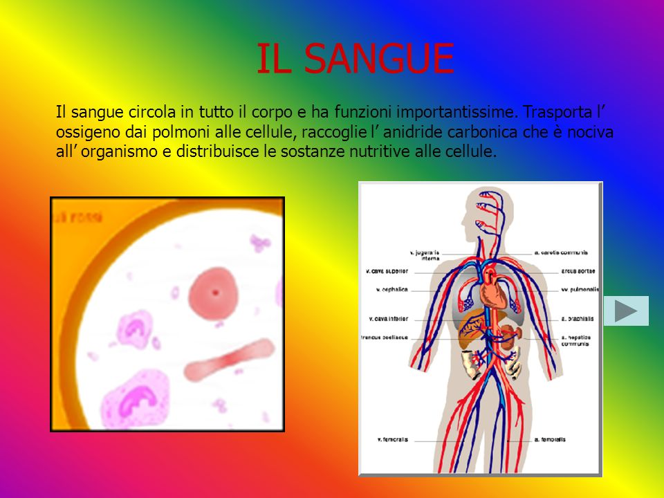 IL SANGUE Il sangue circola in tutto il corpo e ha funzioni importantissime. Trasporta l ossigeno dai polmoni alle cellule, raccoglie l anidride carbo