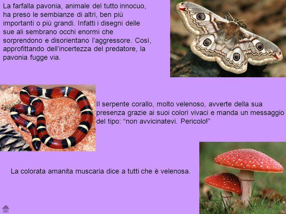 La farfalla pavonia, animale del tutto innocuo, ha preso le sembianze di altri, ben più importanti o più grandi. Infatti i disegni delle sue ali sembr
