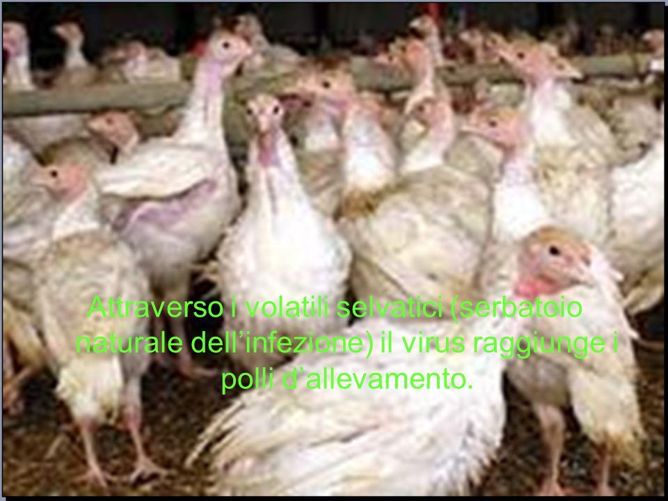 Attraverso i volatili selvatici (serbatoio naturale dellinfezione) il virus raggiunge i polli dallevamento.