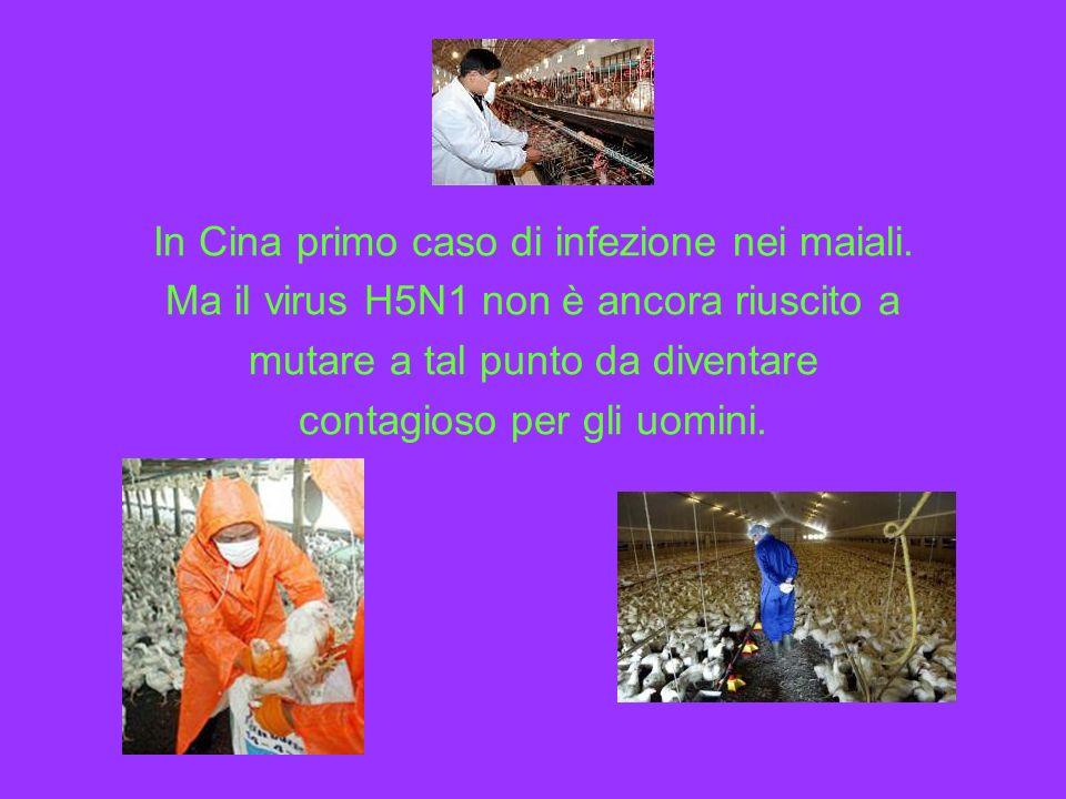 In Cina primo caso di infezione nei maiali. Ma il virus H5N1 non è ancora riuscito a mutare a tal punto da diventare contagioso per gli uomini.