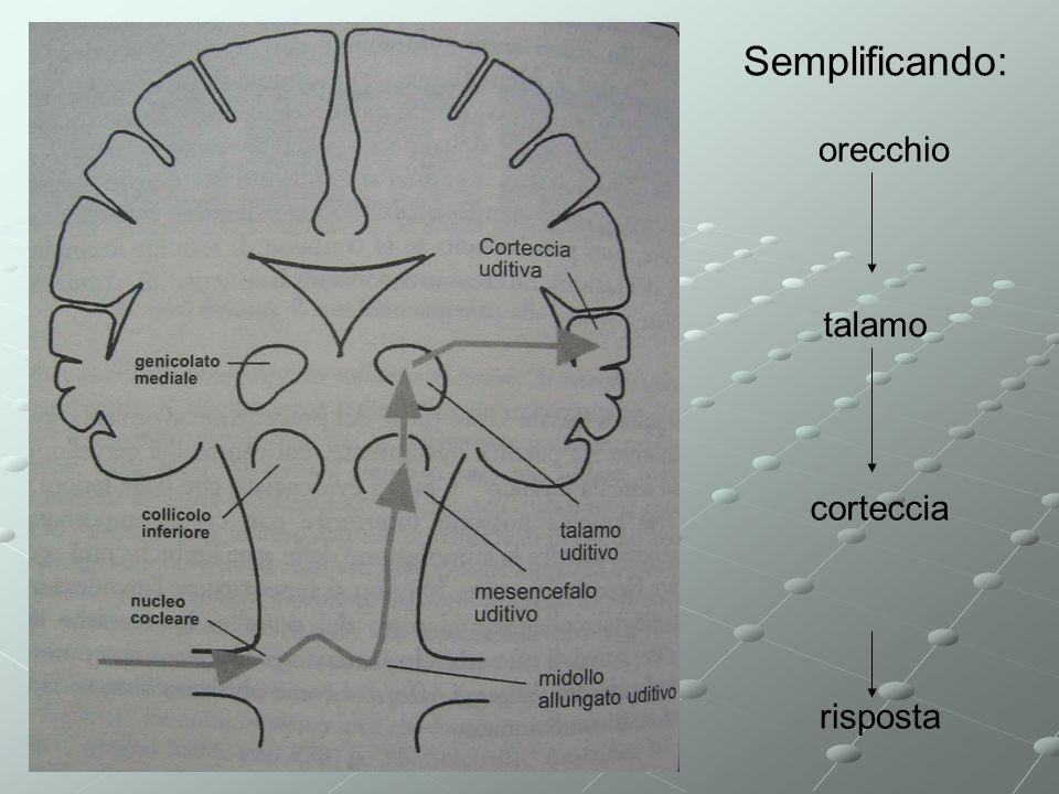 Semplificando: risposta orecchio talamo corteccia