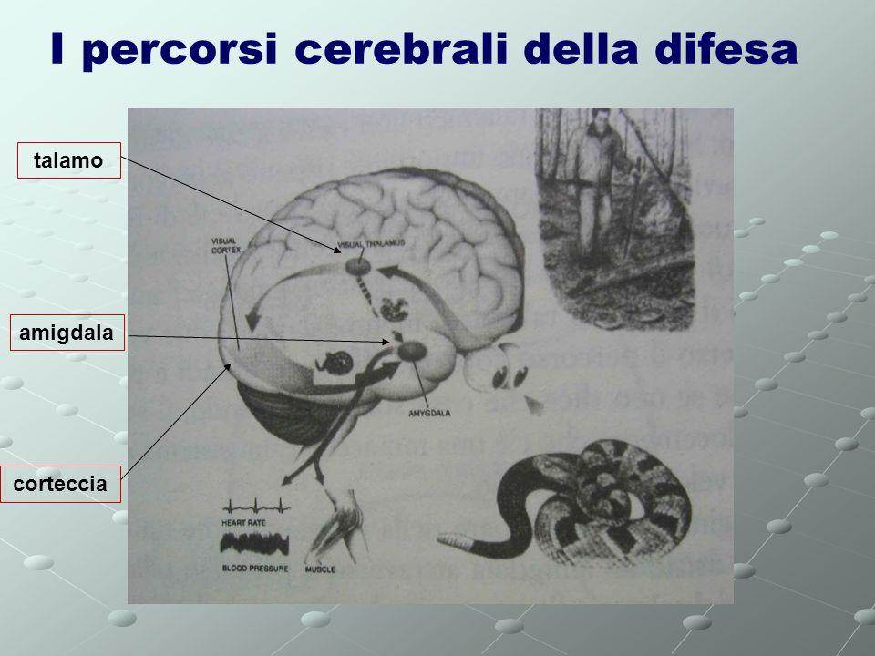I percorsi cerebrali della difesa amigdala talamo corteccia