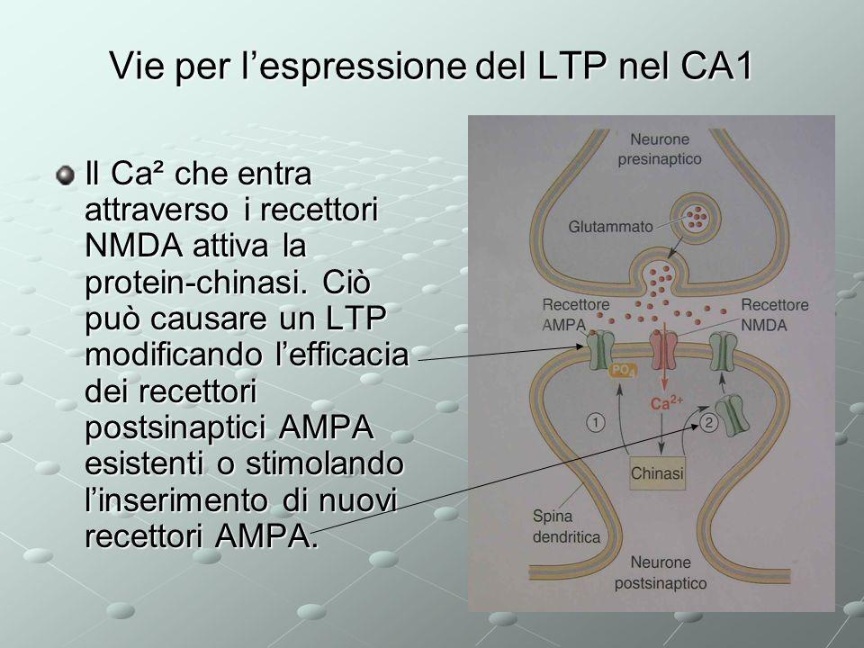 Vie per lespressione del LTP nel CA1 Il Ca² che entra attraverso i recettori NMDA attiva la protein-chinasi. Ciò può causare un LTP modificando leffic