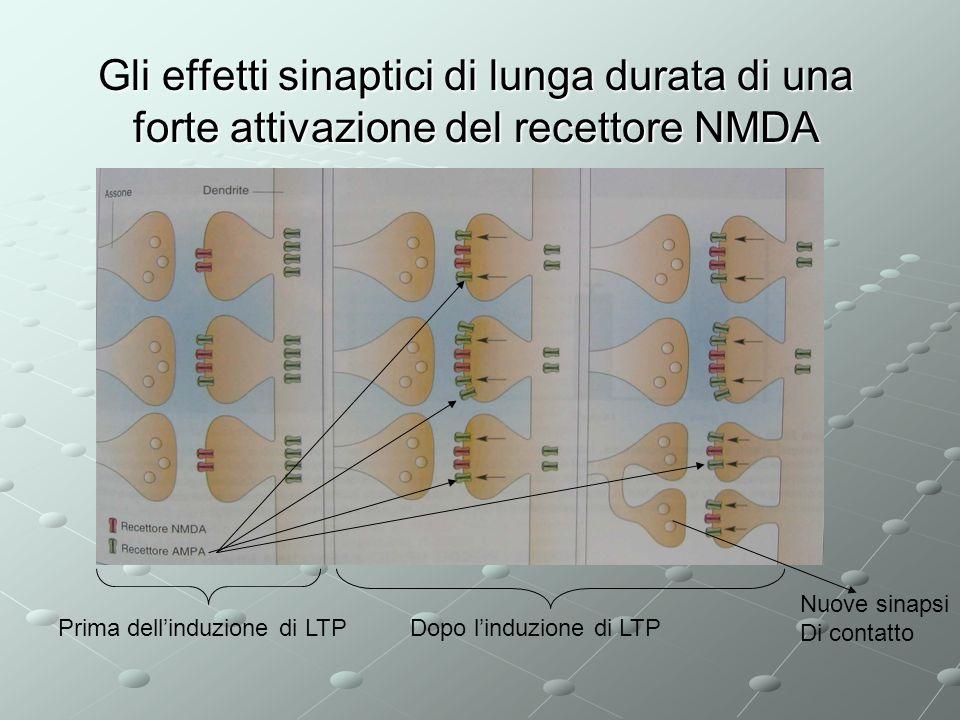 Gli effetti sinaptici di lunga durata di una forte attivazione del recettore NMDA Prima dellinduzione di LTPDopo linduzione di LTP Nuove sinapsi Di co