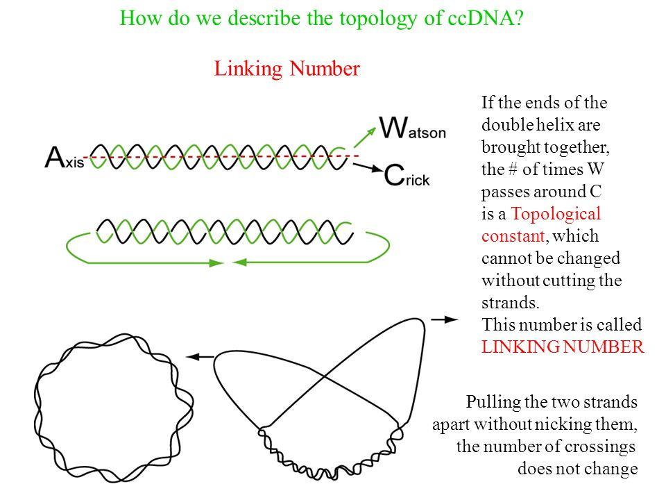 How do we describe the topology of ccDNA.
