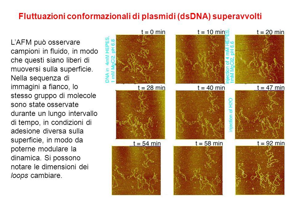 Fluttuazioni conformazionali di plasmidi (dsDNA) superavvolti LAFM può osservare campioni in fluido, in modo che questi siano liberi di muoversi sulla superficie.