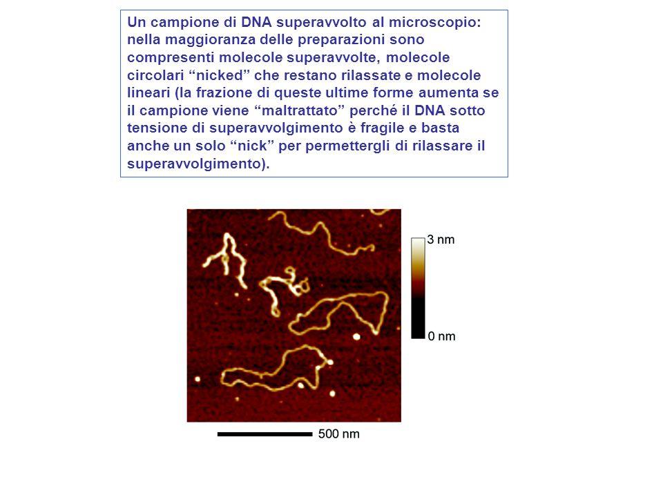Un campione di DNA superavvolto al microscopio: nella maggioranza delle preparazioni sono compresenti molecole superavvolte, molecole circolari nicked che restano rilassate e molecole lineari (la frazione di queste ultime forme aumenta se il campione viene maltrattato perché il DNA sotto tensione di superavvolgimento è fragile e basta anche un solo nick per permettergli di rilassare il superavvolgimento).