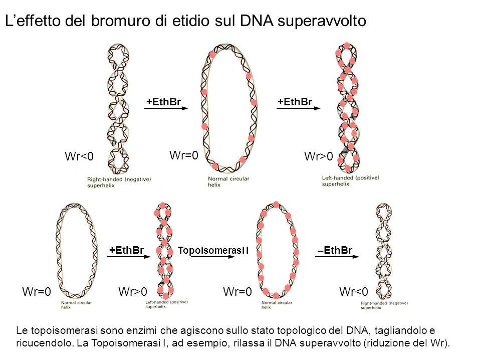Leffetto del bromuro di etidio sul DNA superavvolto +EthBr Topoisomerasi I –EthBr Le topoisomerasi sono enzimi che agiscono sullo stato topologico del DNA, tagliandolo e ricucendolo.