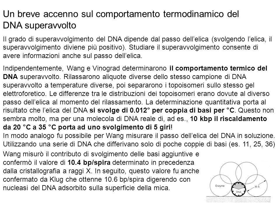 Un breve accenno sul comportamento termodinamico del DNA superavvolto Il grado di superavvolgimento del DNA dipende dal passo dellelica (svolgendo lelica, il superavvolgimento diviene più positivo).