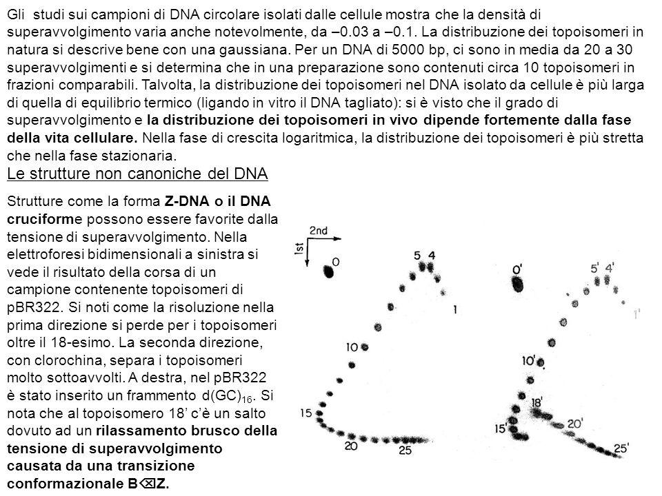 Gli studi sui campioni di DNA circolare isolati dalle cellule mostra che la densità di superavvolgimento varia anche notevolmente, da –0.03 a –0.1.