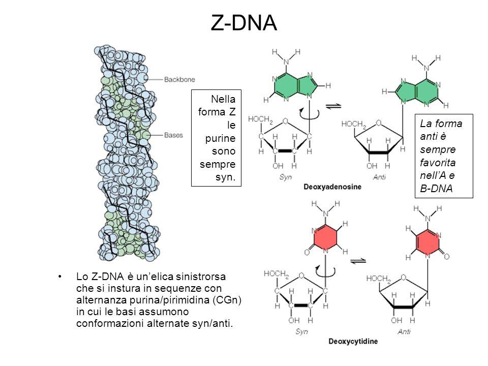 Z-DNA Lo Z-DNA è unelica sinistrorsa che si instura in sequenze con alternanza purina/pirimidina (CGn) in cui le basi assumono conformazioni alternate syn/anti.