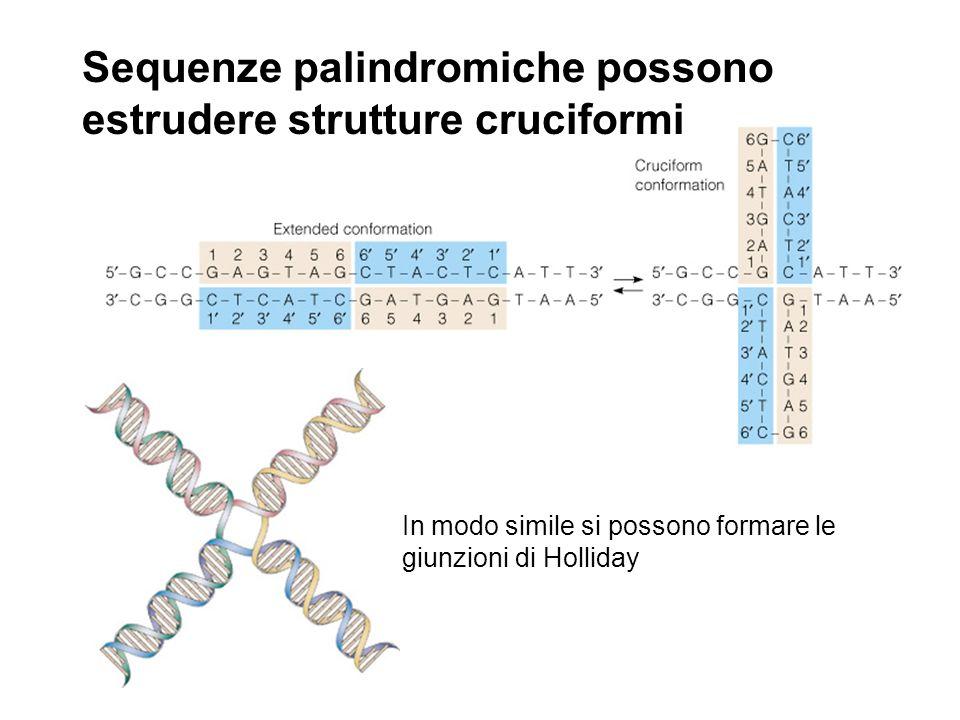 In modo simile si possono formare le giunzioni di Holliday Sequenze palindromiche possono estrudere strutture cruciformi