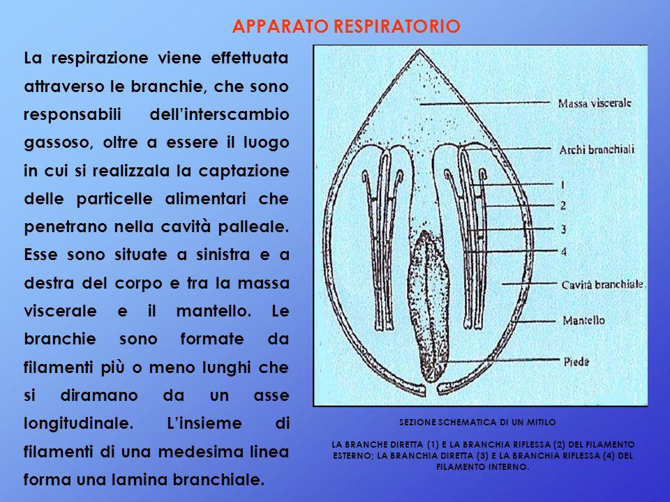 APPARATO RESPIRATORIO La respirazione viene effettuata attraverso le branchie, che sono responsabili dellinterscambio gassoso, oltre a essere il luogo