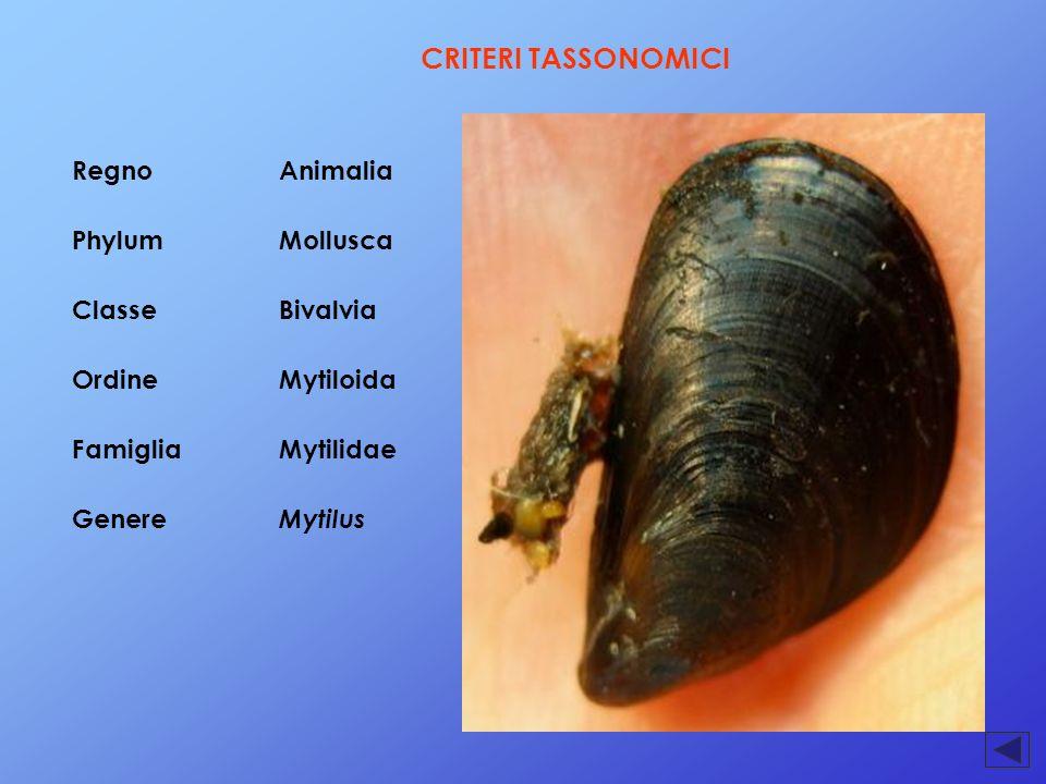 CRITERI TASSONOMICI RegnoAnimalia PhylumMollusca ClasseBivalvia OrdineMytiloida FamigliaMytilidae Genere Mytilus