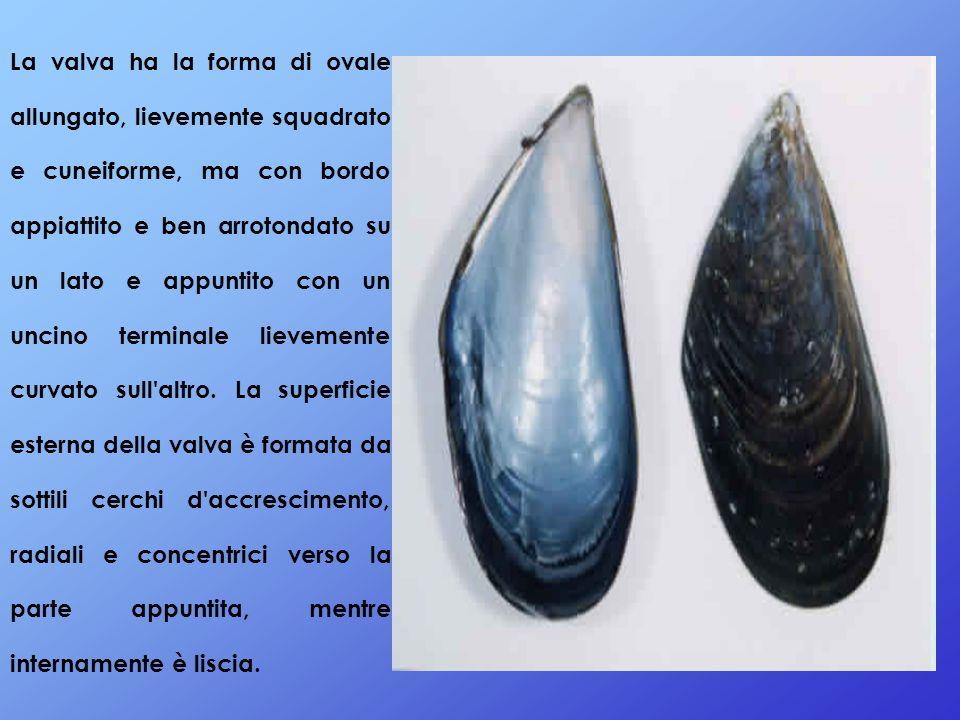 La valva ha la forma di ovale allungato, lievemente squadrato e cuneiforme, ma con bordo appiattito e ben arrotondato su un lato e appuntito con un un