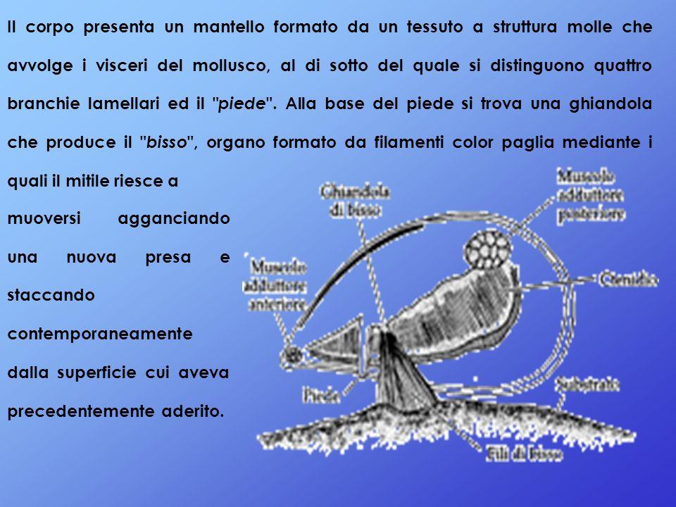 Questi filamenti sono costituiti a base di amminoacidi e la loro abbondanza e resistenza dipende dallo stato fisiologico del mollusco.