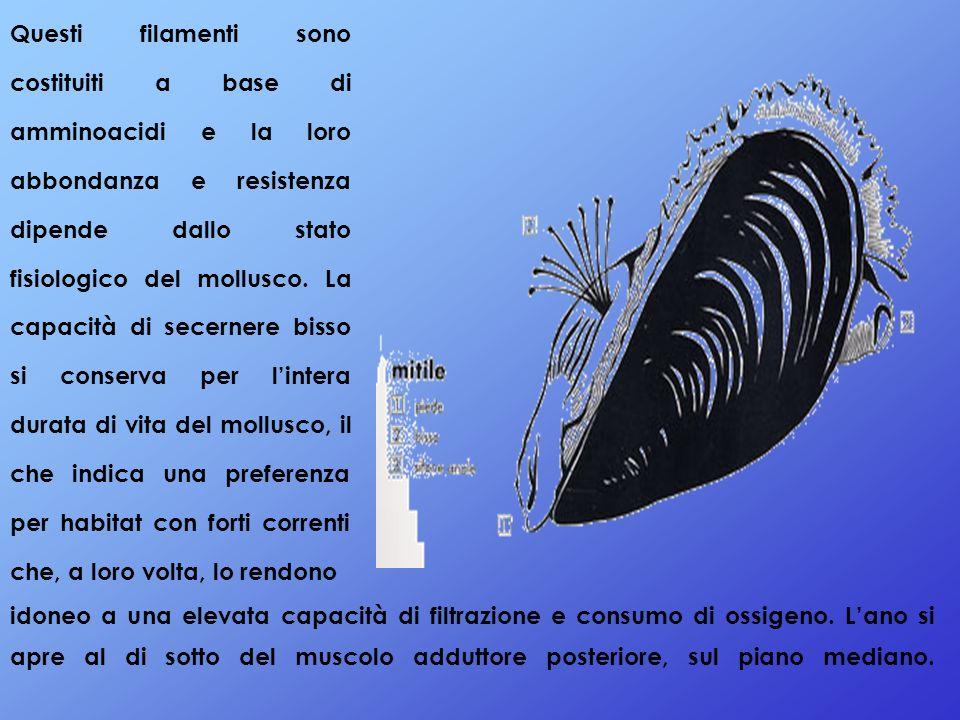 Questi filamenti sono costituiti a base di amminoacidi e la loro abbondanza e resistenza dipende dallo stato fisiologico del mollusco. La capacità di
