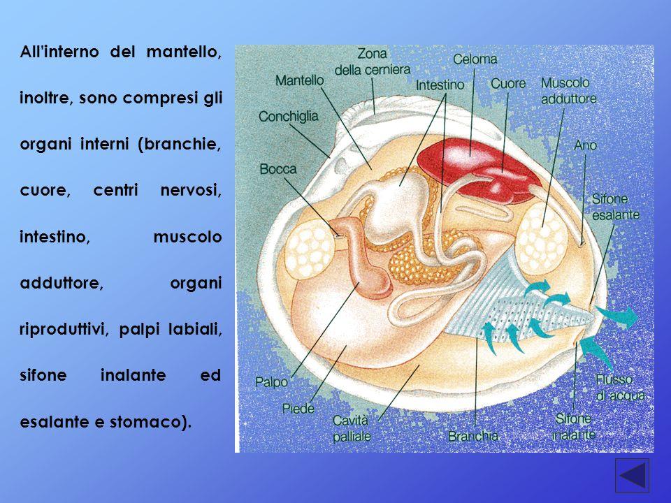 All'interno del mantello, inoltre, sono compresi gli organi interni (branchie, cuore, centri nervosi, intestino, muscolo adduttore, organi riproduttiv