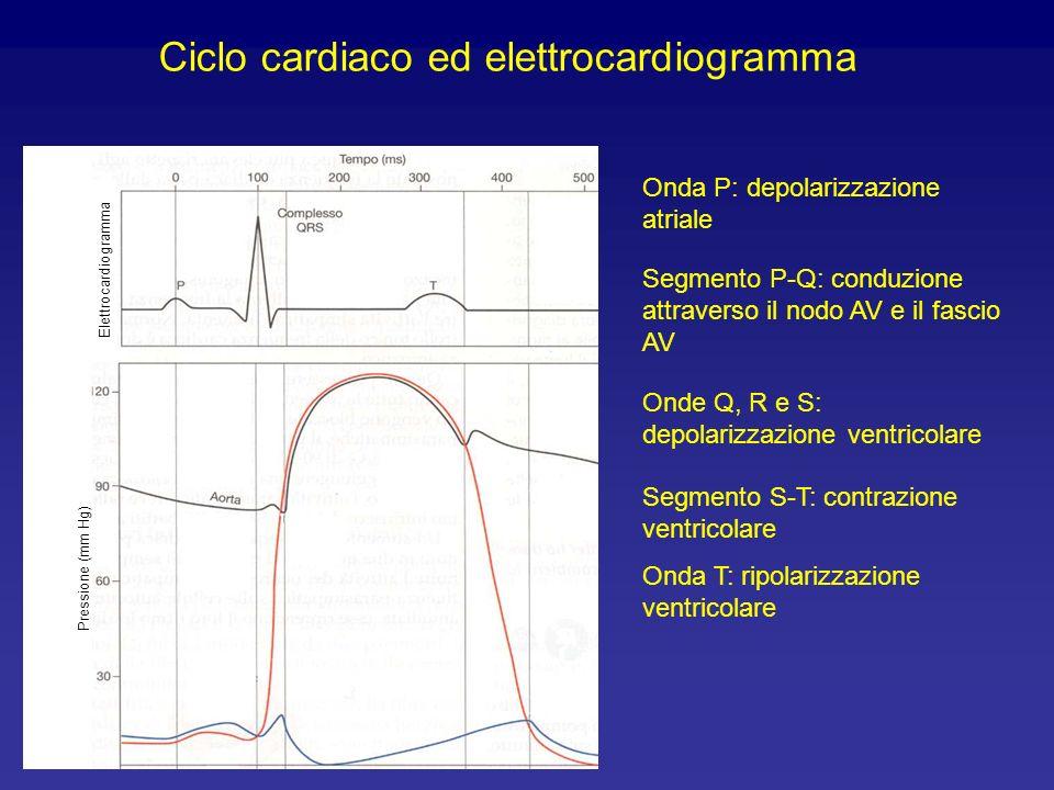A B riemp. pass. e contr. atriale B C contrazione isovolumetrica C D immissione di sangue in aorta D A rilassamento isovolumetrico (A) La valvola mitr