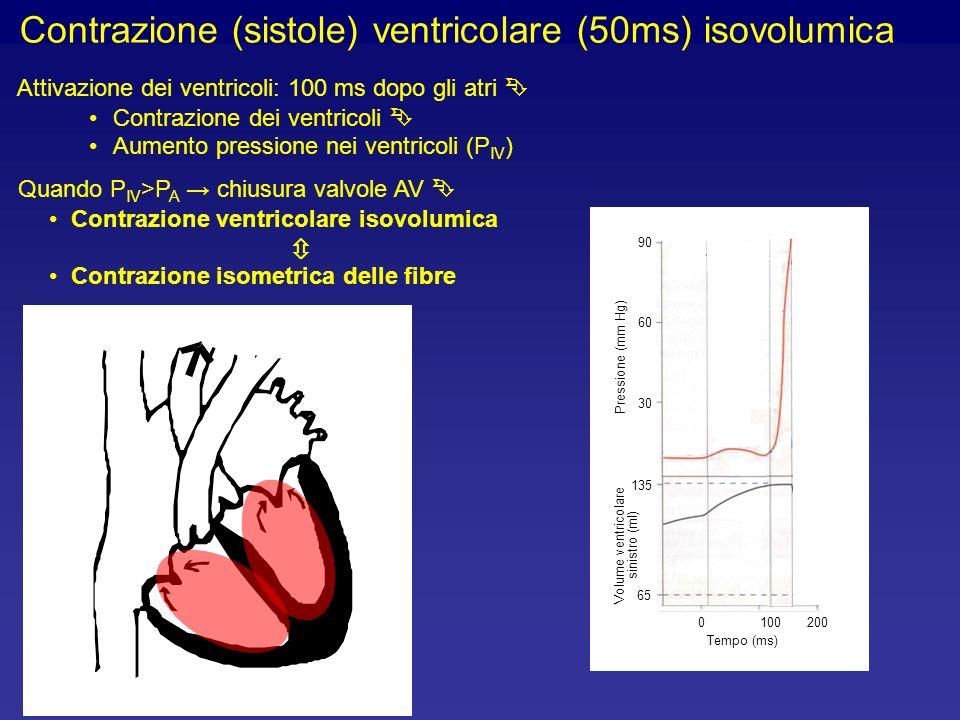 Contrazione (sistole) ventricolare (50ms) isovolumica Attivazione dei ventricoli: 100 ms dopo gli atri Contrazione dei ventricoli Aumento pressione nei ventricoli (P IV ) Quando P IV >P A chiusura valvole AV Contrazione ventricolare isovolumica Contrazione isometrica delle fibre 1000200 Tempo (ms) 90 60 30 Pressione (mm Hg) 65 135 Volume ventricolare sinistro (ml)